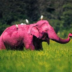 The Hot Pink Elephant